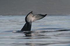 humpback λευκό ουρών Στοκ Φωτογραφία