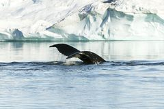 humpback ουρά Στοκ φωτογραφία με δικαίωμα ελεύθερης χρήσης