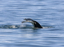 humpback ουρά Στοκ φωτογραφίες με δικαίωμα ελεύθερης χρήσης