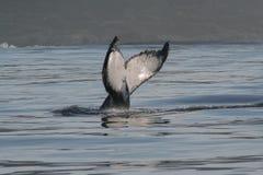 humpback ουρά Στοκ Εικόνες