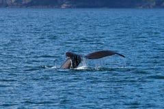 humpback φάλαινα ουρών Στοκ Εικόνα