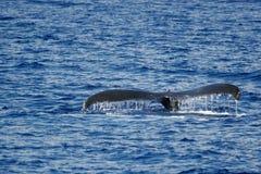 humpback φάλαινα ουρών Στοκ εικόνες με δικαίωμα ελεύθερης χρήσης