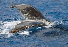 humpback брызгая кита кабеля Стоковые Изображения