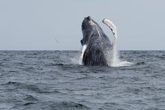 humpback скачет кит Стоковая Фотография