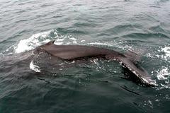 humpback 02 wale Στοκ Φωτογραφίες