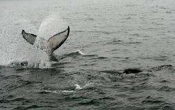 humpback 03 wale Στοκ φωτογραφία με δικαίωμα ελεύθερης χρήσης