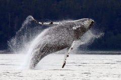 аляскский пробивая брешь humpback перескакивая кит Стоковые Изображения
