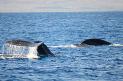 humpback Στοκ εικόνες με δικαίωμα ελεύθερης χρήσης