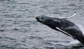 humpback Fotografie Stock Libere da Diritti