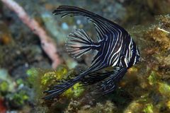 Humpback batfish Stock Photography