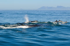 Humpback and Bottlenose. A Humpback whale seen in Walker Bay neer Hermanus, South Africa Stock Images