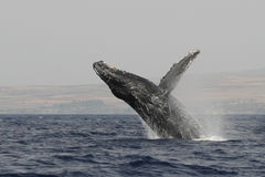 Humpback breach 5533 Royalty Free Stock Image