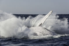 Humpback Breach. Humpback breaches off the east coast of South Africa royalty free stock photo
