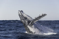 Humpback Breach. stock images