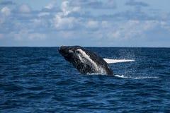 Humpback Breaching in Atlantic Stock Image
