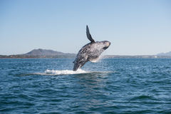 Humpback breaching 2. A hump whale breaches in the pacific ocean royalty free stock photo