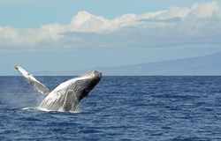 Humpback breaching in Maui. Large humpback whale breaching in Maui, Hawaii stock images