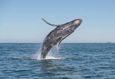 Humpback breaching. A humpback whale breaches in the pacific ocean stock photos