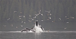 Humpback Bubbelnet Feeding in Alaska. Two humpback whales bubble net feeding in Alaska. One of natures more amazing miracles of cooperation royalty free stock image