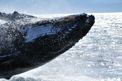 Humpback close breach. Humpback Whale  near Hermanus, South Africa Royalty Free Stock Photos