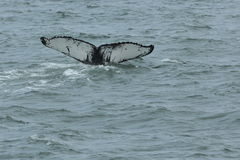 Humpback Fluke royalty free stock photo