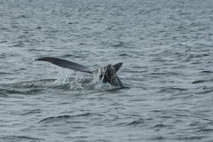 Humpback Fluke Royalty Free Stock Images