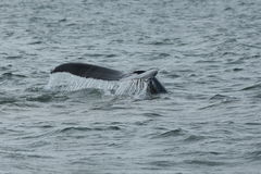 Humpback Fluke Stock Photography
