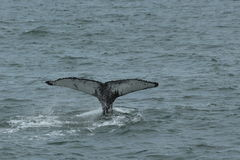 Humpback Fluke stock photo