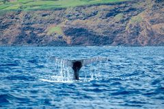 Humpback flukes. A humpback whale diving close to the volcanic coast of Pico Island in the Azores Stock Photography