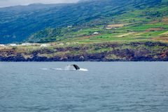 Humpback flukes. A young humpback whale near to the volcanic coast of Pico Island in the Azores Stock Image