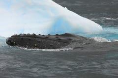 humpback góra lodowa wieloryb Zdjęcia Royalty Free