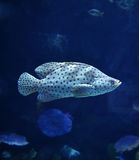 Humpback grouper. Swimming on Underwater aquarium royalty free stock images