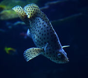 Humpback grouper Stock Image