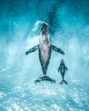 Humpback i jej łydka zdjęcia royalty free