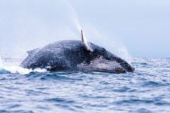 Humpback Landing Royalty Free Stock Photos