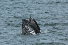 Humpback Lunge Feeding royalty free stock images