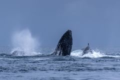 Humpback Megaptera novaeangliae Whale Jumping Out Of The Water. Madagascar. St. Mary`s Island. Close up stock image