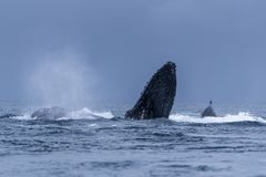 Humpback Megaptera novaeangliae Whale Jumping Out Of The Water. Madagascar. St. Mary`s Island. Close up stock images