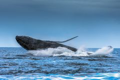 Humpback Megaptera novaeangliae Whale Jumping Out Of The Water. Madagascar. St. Mary`s Island. Close up royalty free stock photos
