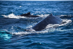 Humpback Mother and Calf at Surface of Caribbean Stock Photos