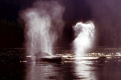 Φάλαινες Humpback που ρίχνουν (novaeangliae Megaptera), Αλάσκα, νότος Στοκ φωτογραφία με δικαίωμα ελεύθερης χρήσης