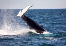 humpback ogon Obraz Royalty Free
