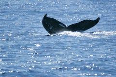 humpback ogonu wieloryb Zdjęcie Stock