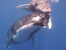 Humpback in Polynesia stock photos