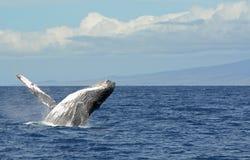 Humpback que practica una abertura en Maui Imagenes de archivo