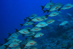 Humpback red snapper fish Stock Image