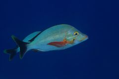 Humpback red snapper Stock Images