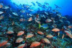 Humpback red snapper Stock Photo