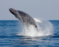 Humpback-robatics Royalty Free Stock Photography