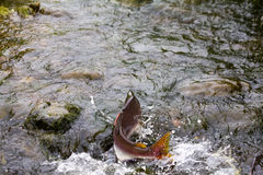 Humpback salmon. Going on spawning Royalty Free Stock Photos
